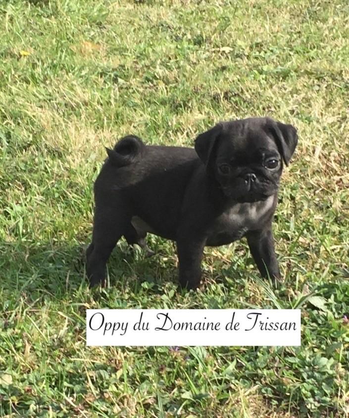du Domaine De Trissan - Chiot disponible  - Carlin