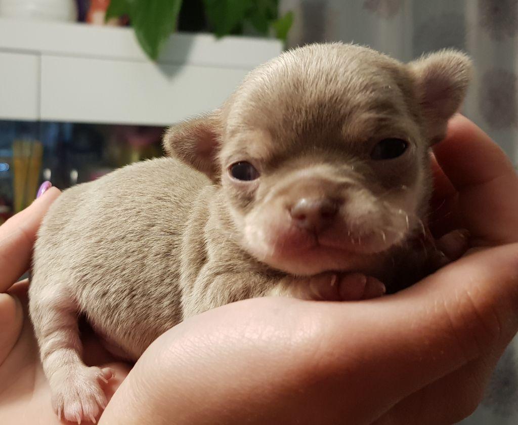 De La Villa D'Orphée - Chiot disponible  - Chihuahua