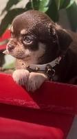 Chihuahua - Des Minis De Lily