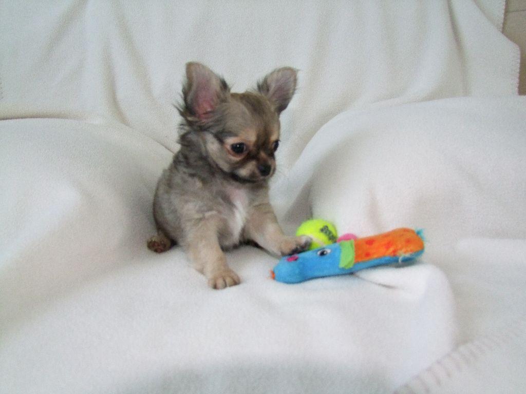 Odin du Clan Vemundr - Chihuahua