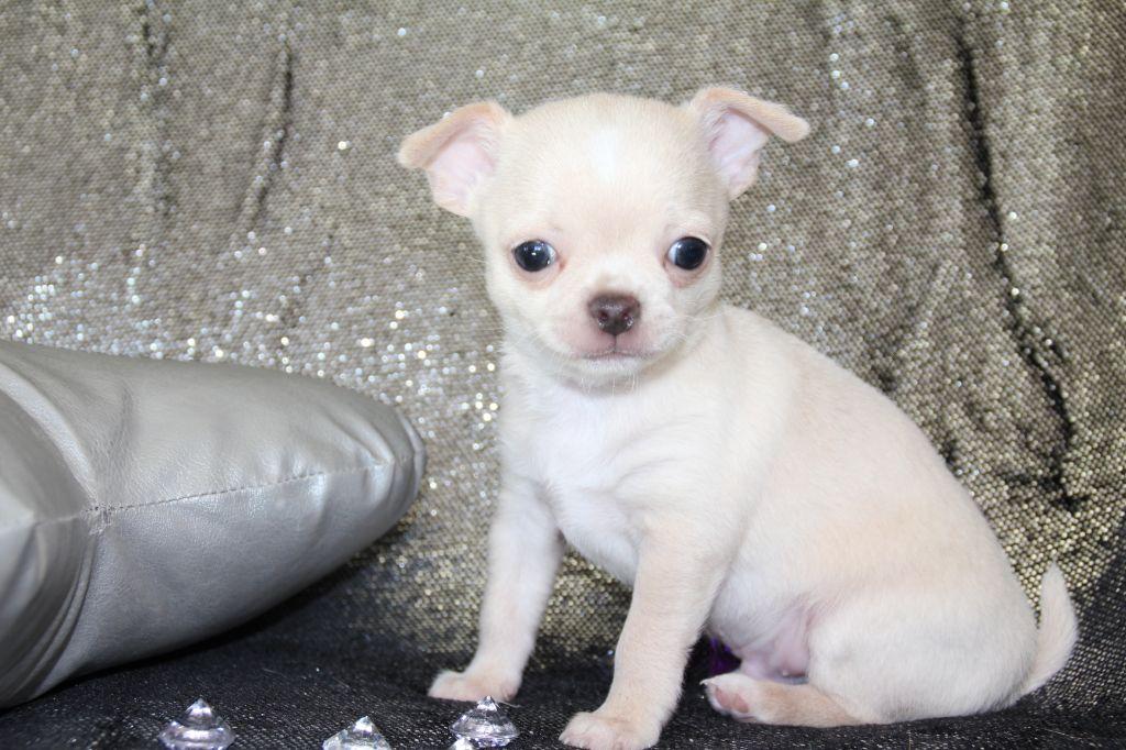 Des Petits Diamants Précieux - Chiot disponible  - Chihuahua