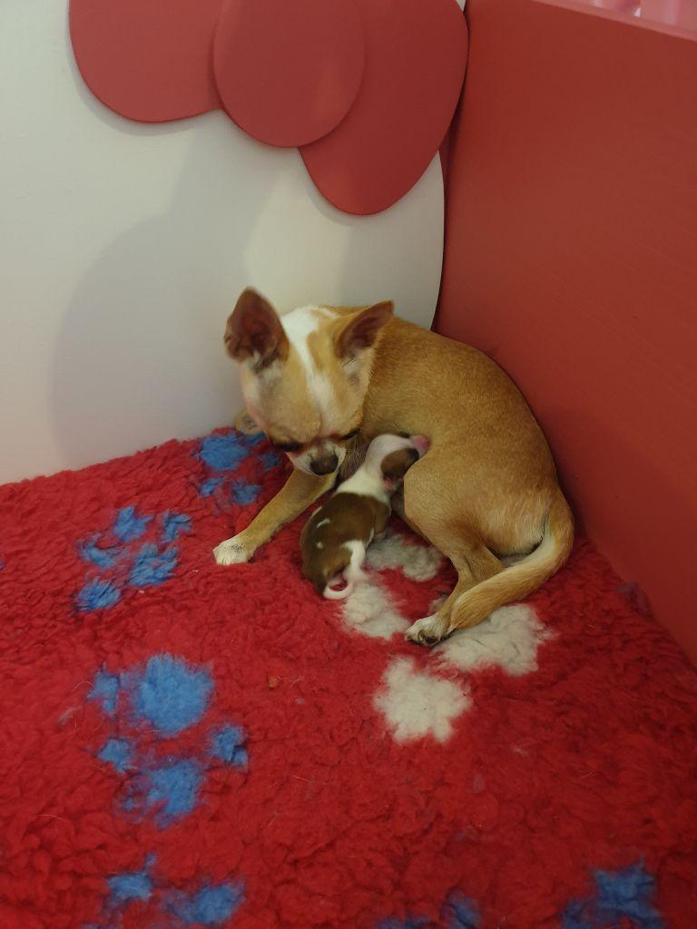 chiot Chihuahua Des Petits Diamants Précieux