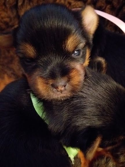 CHIOT collier rose  - Yorkshire Terrier
