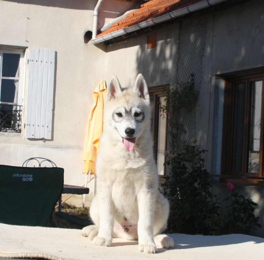 Of Legendary's Reborn - Chiot disponible  - Siberian Husky