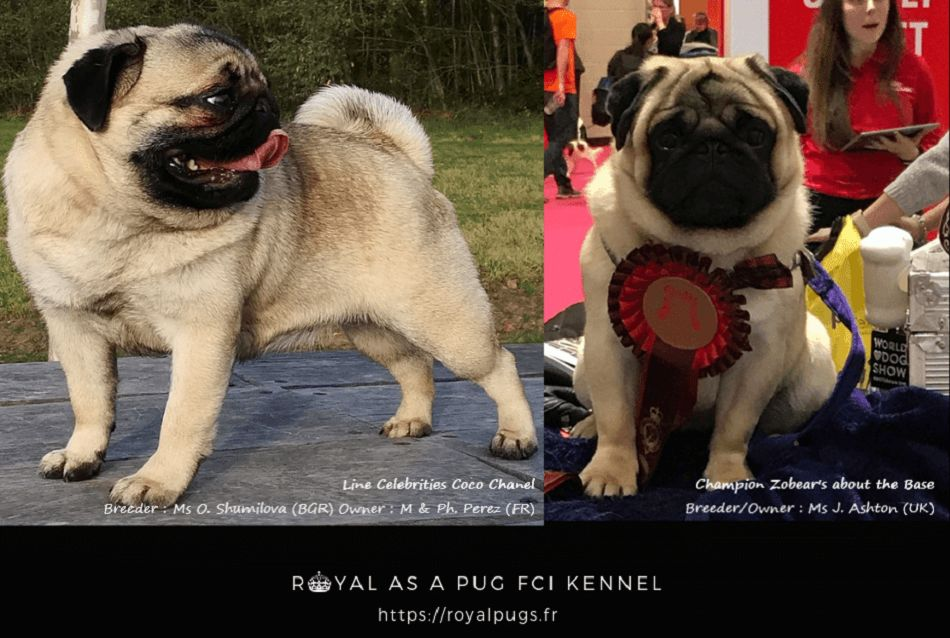 Parents de notre portée de chiots Carlin 2019 https://royalpugs.fr/chiot-carlin/