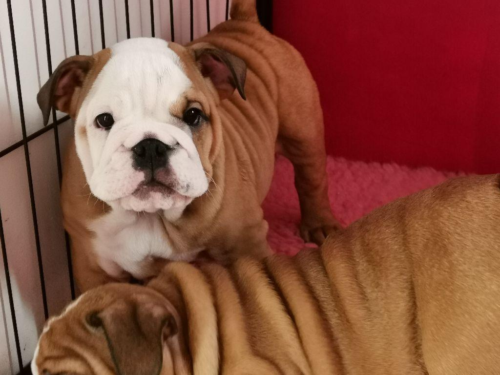 Colossus Rustic Bull's - Chiot disponible  - Bulldog Anglais