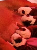 Bulldog Anglais - Colossus Rustic Bull's