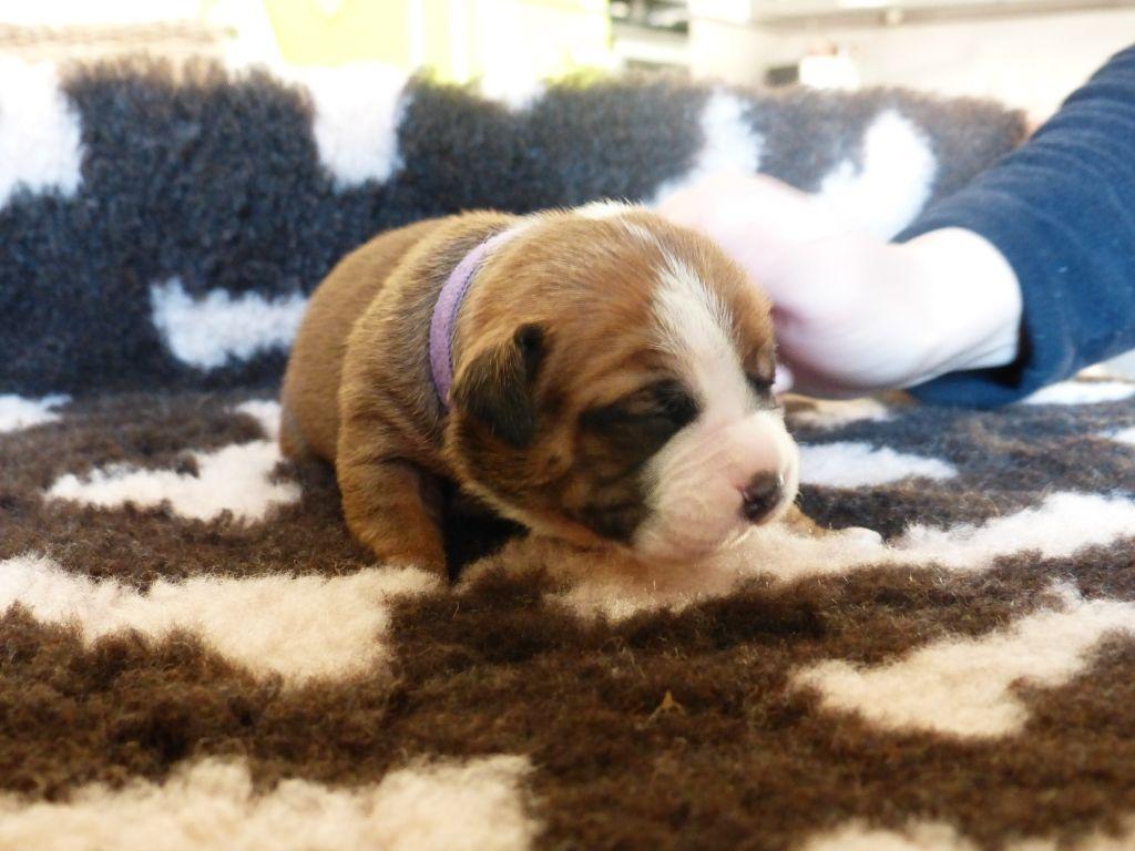 Des Belles Truffes - Chiot disponible  - Bulldog continental