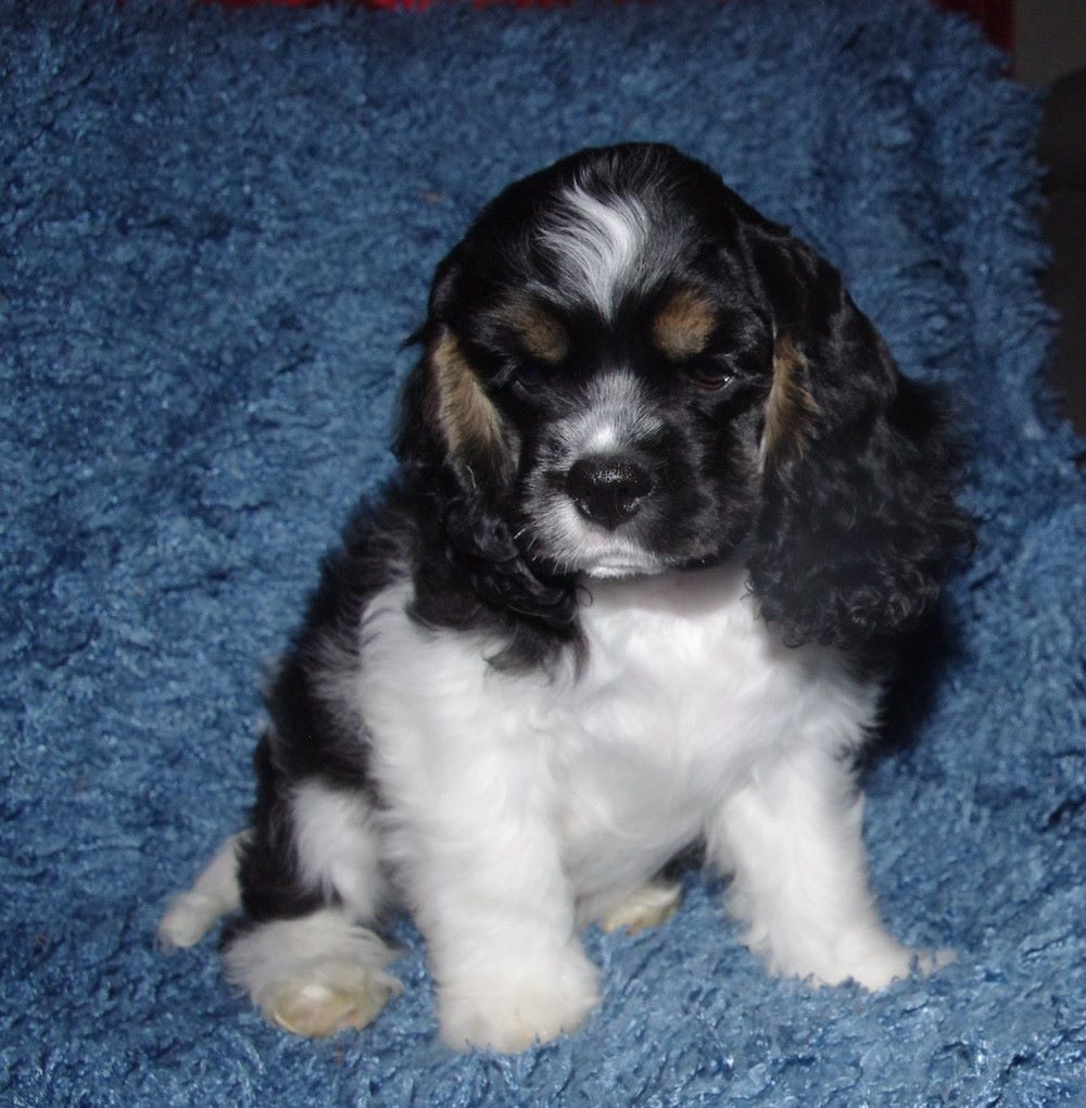 Very Sweet - Chiot disponible  - American Cocker Spaniel