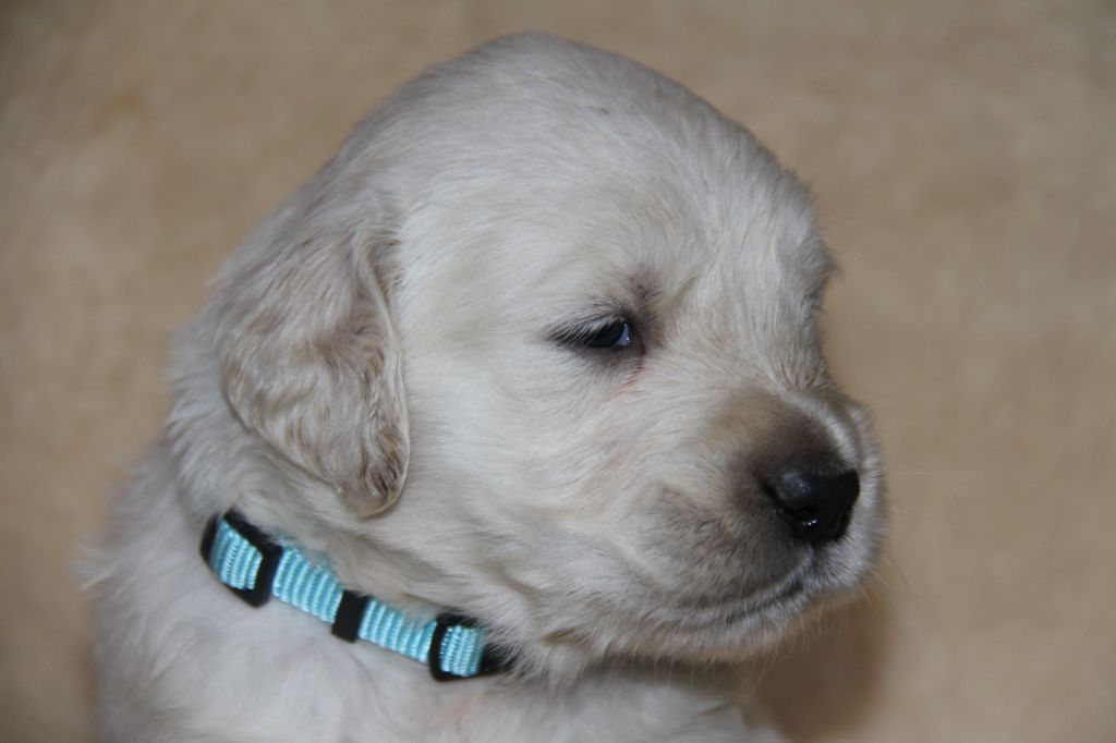 M Bleu Pastel  - Golden Retriever