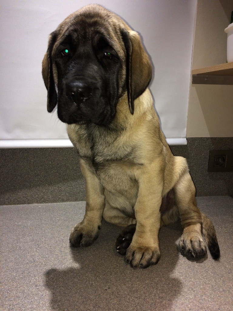 Of Happiness Of Isca - Chiot disponible  - Mastiff