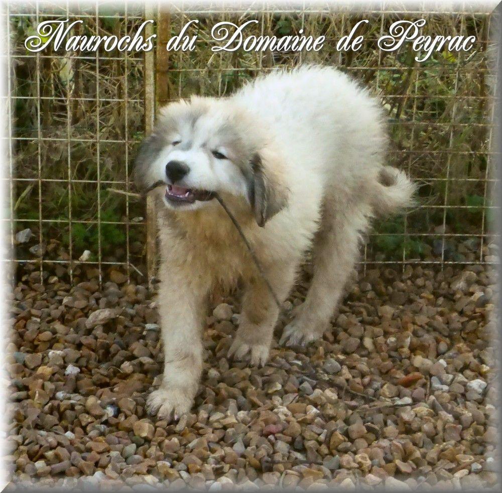 du Domaine de Peyrac - Chiot disponible  - Chien de Montagne des Pyrenees