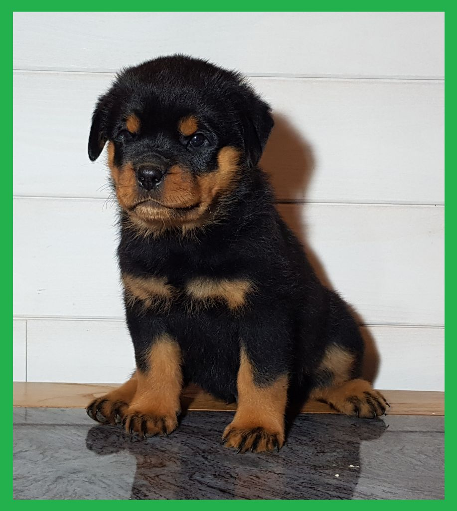 Spirit Of Phoenix - Chiot disponible  - Rottweiler