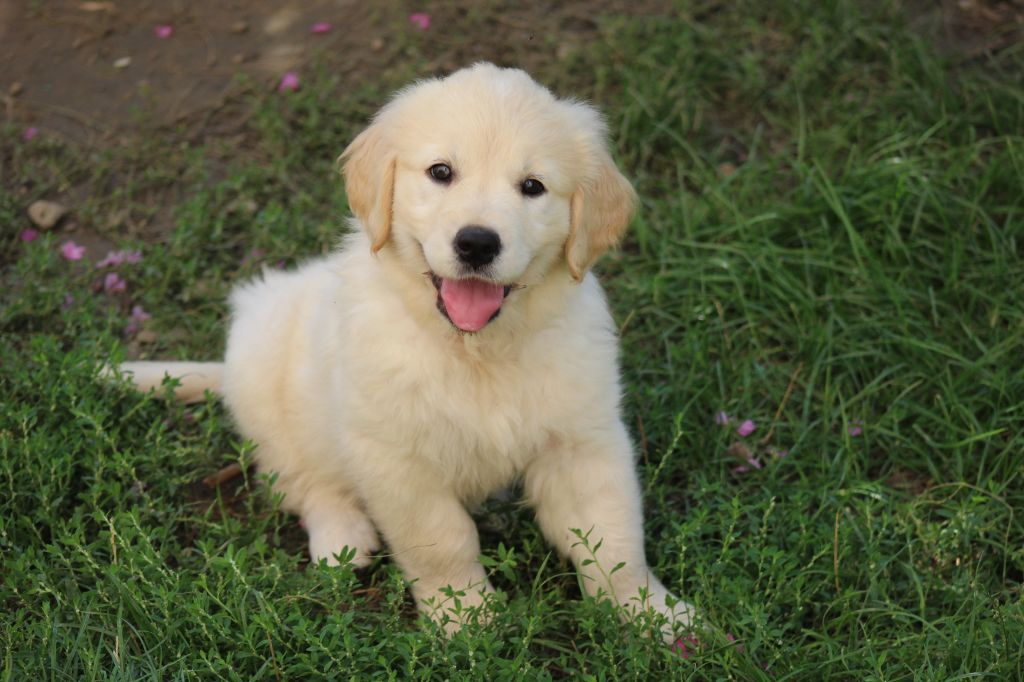 Pixelle - Golden Retriever