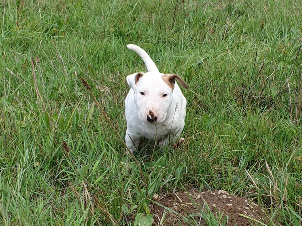 De L'Arche De Jeanne - Chiot disponible  - Bull Terrier