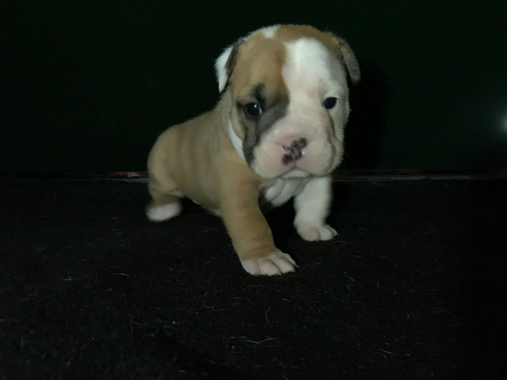 Du Body Molosse - Chiot disponible  - Bulldog continental