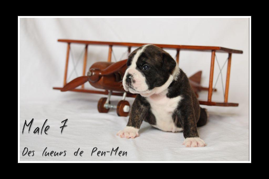 Des Lueurs De Pen Men - Chiot disponible  - Bulldog continental