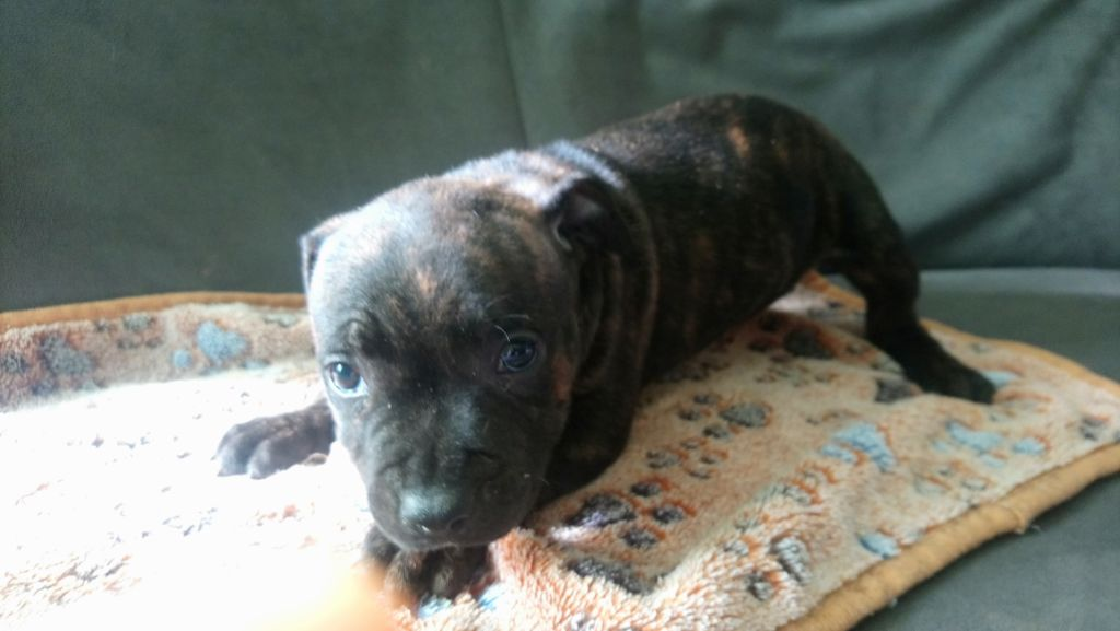 Gillian Marshall - Chiot disponible  - Staffordshire Bull Terrier