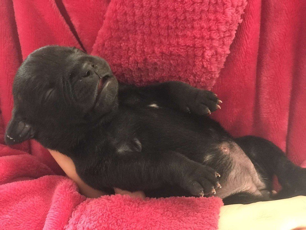 Ashbringer - Chiot disponible  - Staffordshire Bull Terrier
