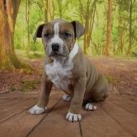 American Staffordshire Terrier - Dog'n'Tatoo