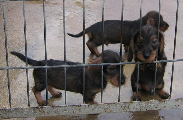 Photo - Elevage de Vormes - eleveur de chiens Teckel poil dur