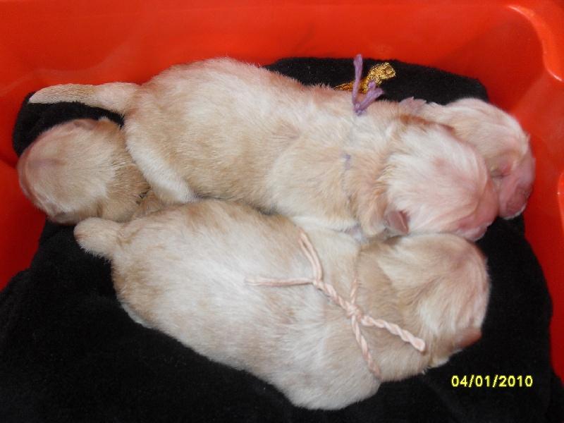 du Kiang Ti-Ho - Chow Chow - Portée née le 05/01/2010