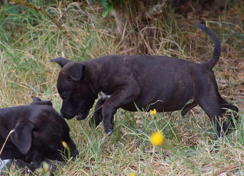 des terres de la Munia - Chiot disponible  - Staffordshire Bull Terrier