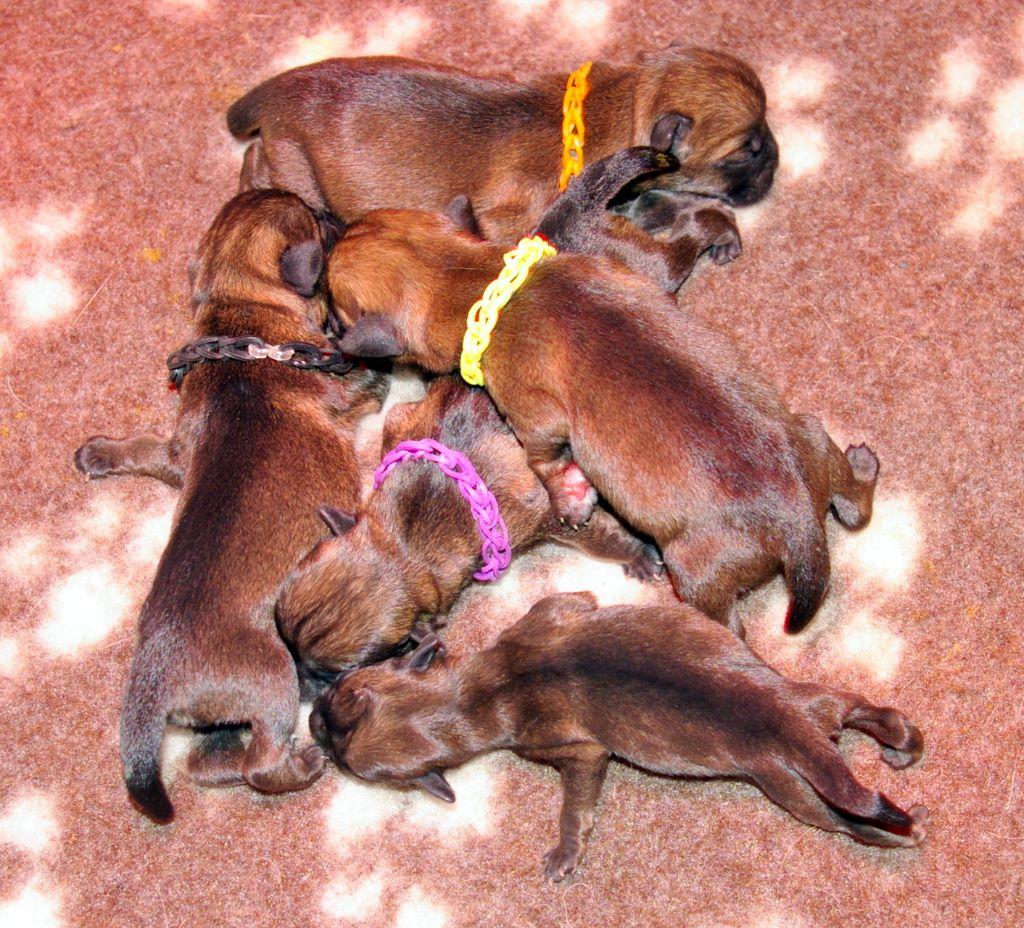 Des petites nouches - Chiot disponible  - Border Terrier