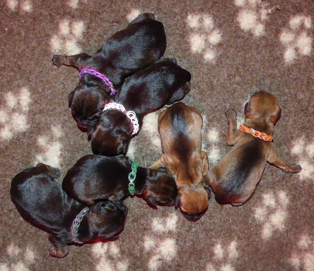 chiot Border Terrier Des petites nouches