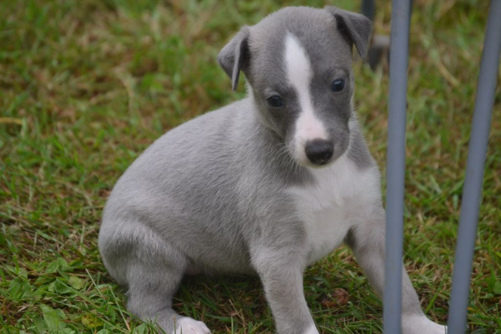 CHIOT - Whippet