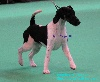 - Reportage Cruft's 2012 - Fox Terrier poil lisse (smooth)