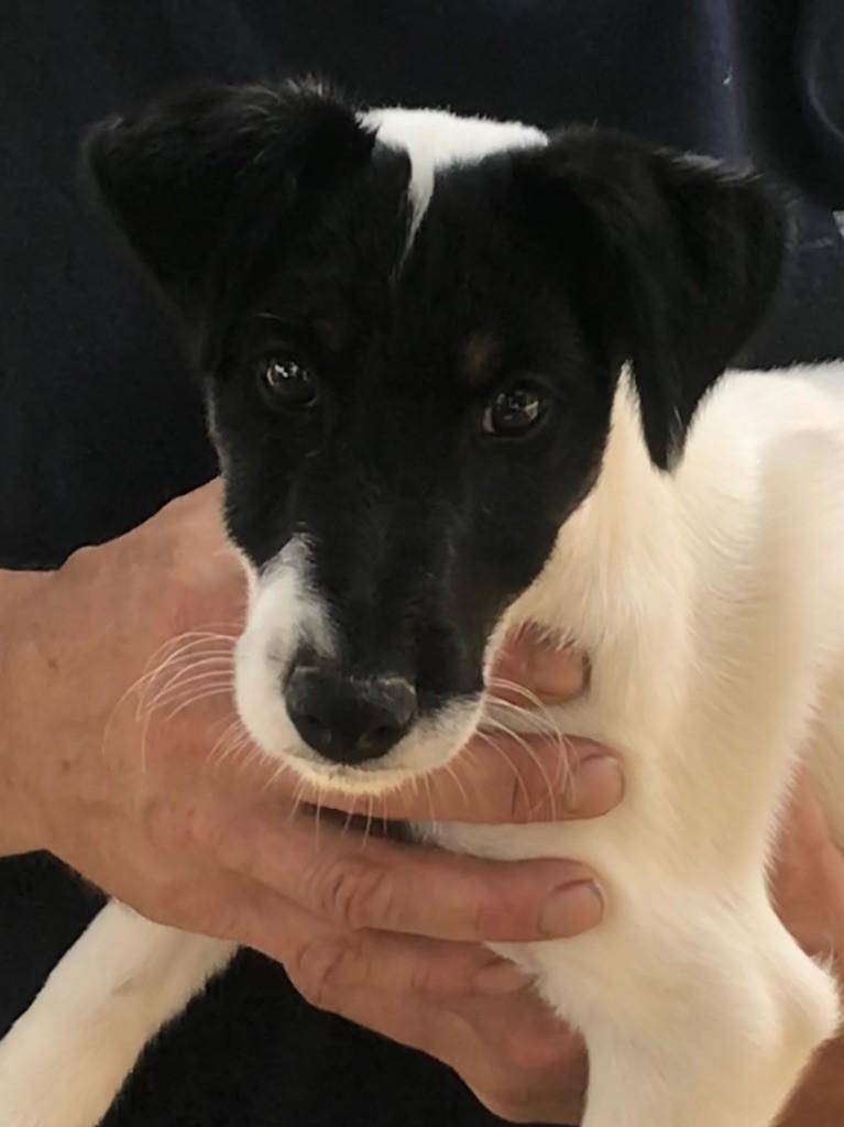 du Manoir Saint Adrien - Fox Terrier Poil lisse - Portée née le 24/05/2018