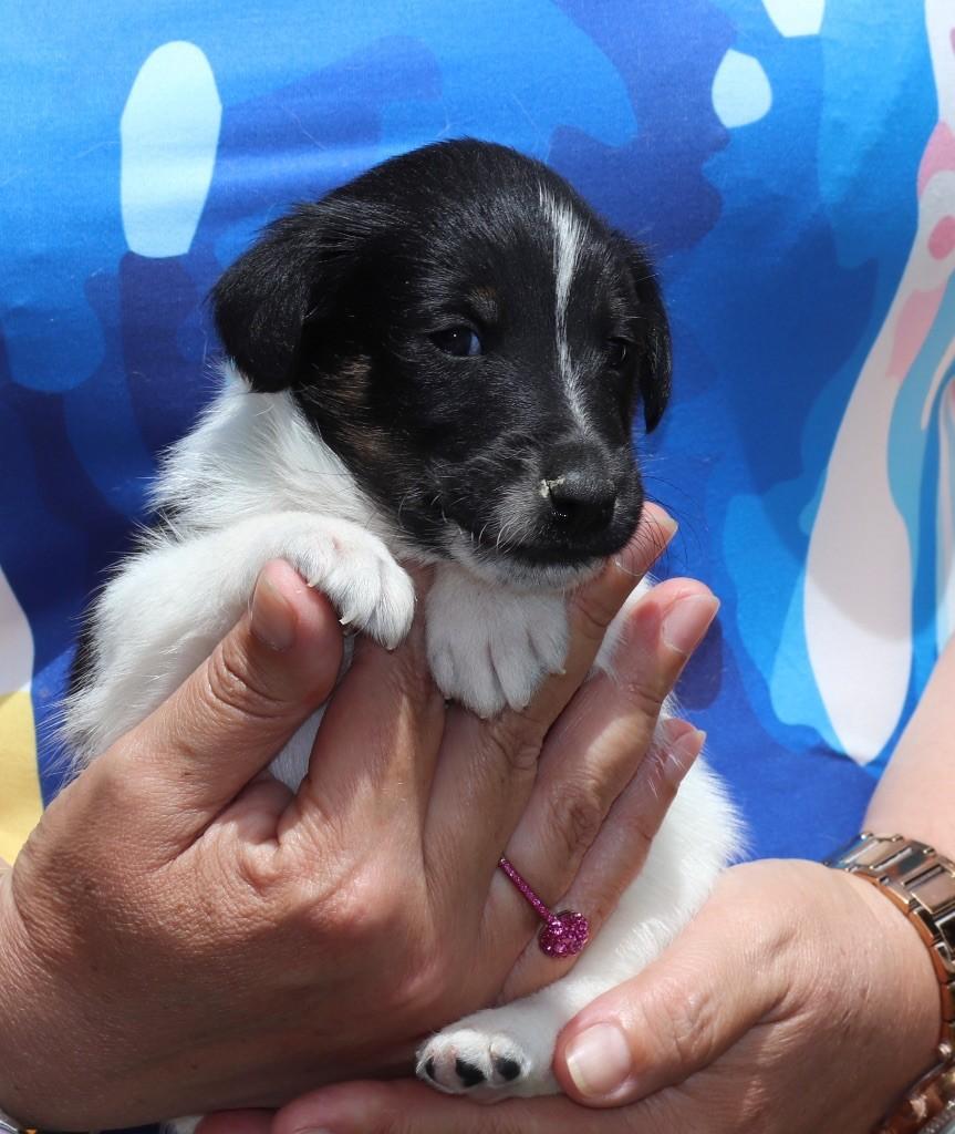du Manoir Saint Adrien - Chiot disponible  - Fox Terrier Poil lisse