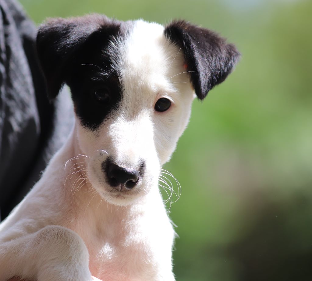 du Manoir Saint Adrien - Chiot disponible  - Fox Terrier Poil lisse