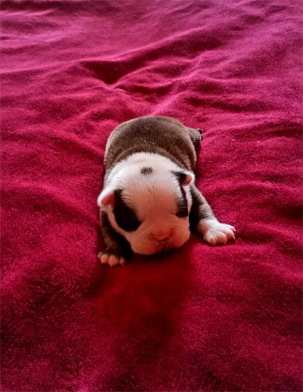 de Milantosa - Chiot disponible  - Boston Terrier