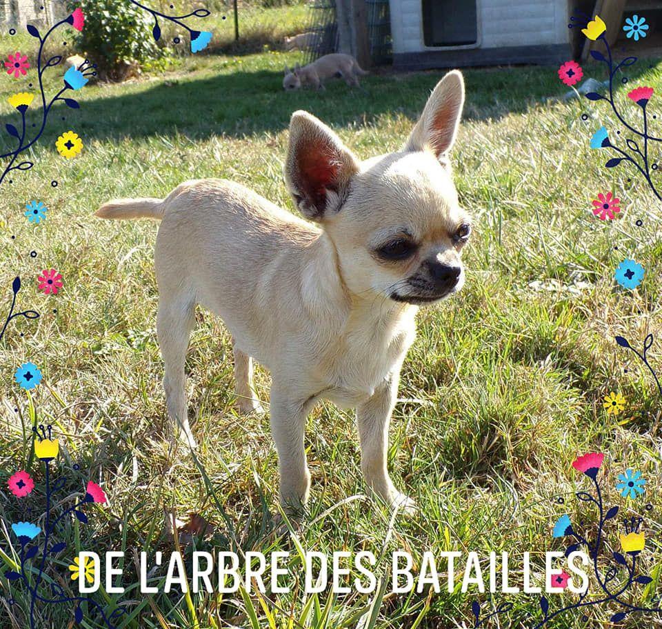 chiot Chihuahua de L'Arbre des Batailles