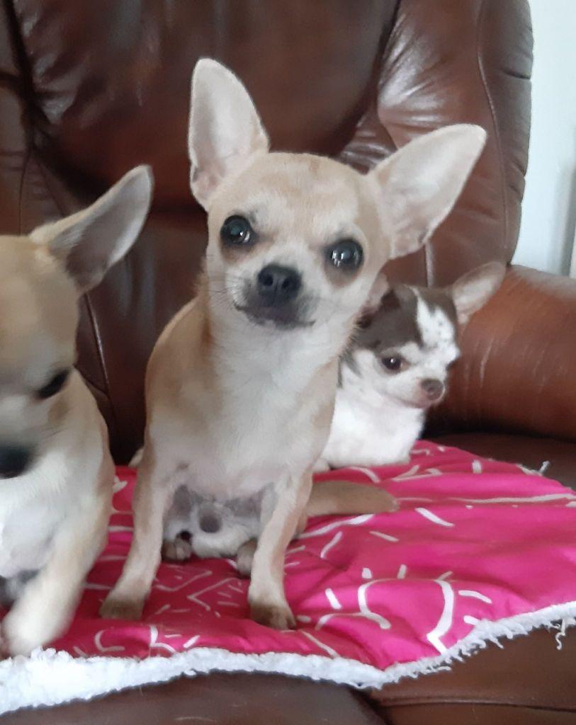 de L'Arbre des Batailles - Chiot disponible  - Chihuahua