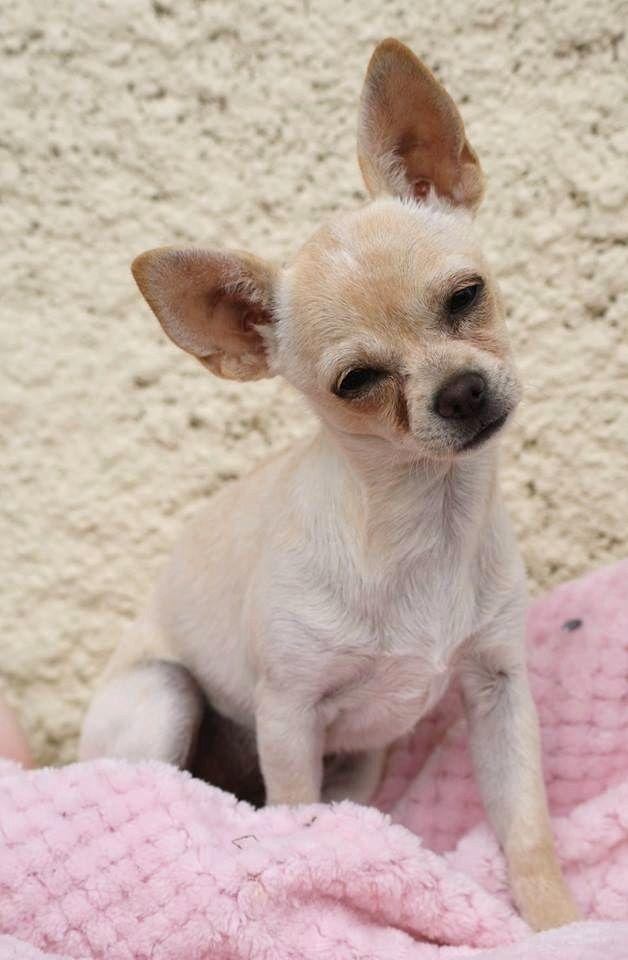ODESSA  - Chihuahua