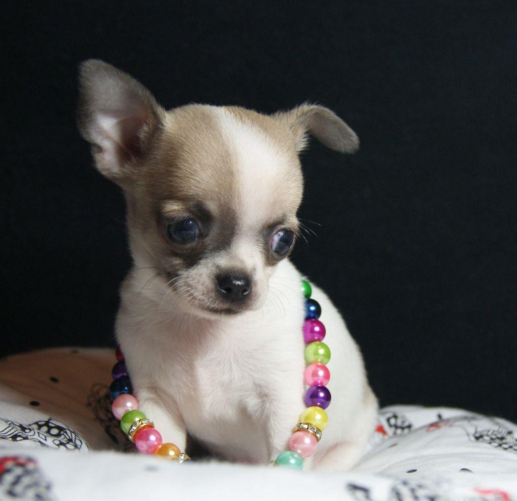 NATHAN - Chihuahua