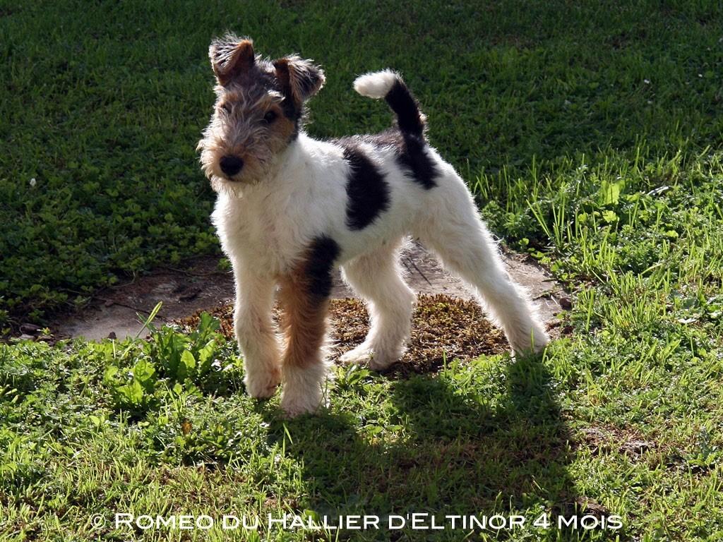 du Hallier d'Eltinor - Chiot disponible  - Fox Terrier Poil Dur