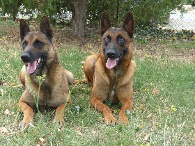 Accueil - Elevage du Mas des Crozes - eleveur de chiens