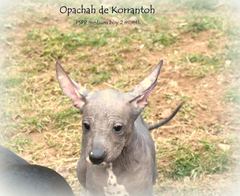 OPACHAH DE KORRANTOH