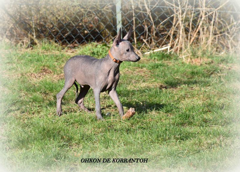 De korrantoh - Chiot disponible  - Chien nu du Perou