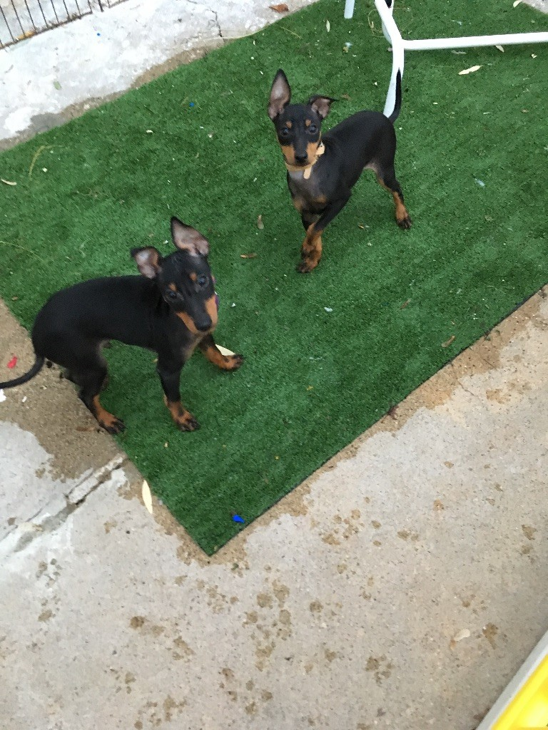 Of tall and small - English Toy Terrier - Portée née le 11/08/2018