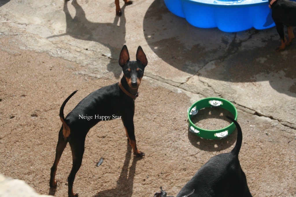 Of tall and small - Chiot disponible  - English Toy Terrier