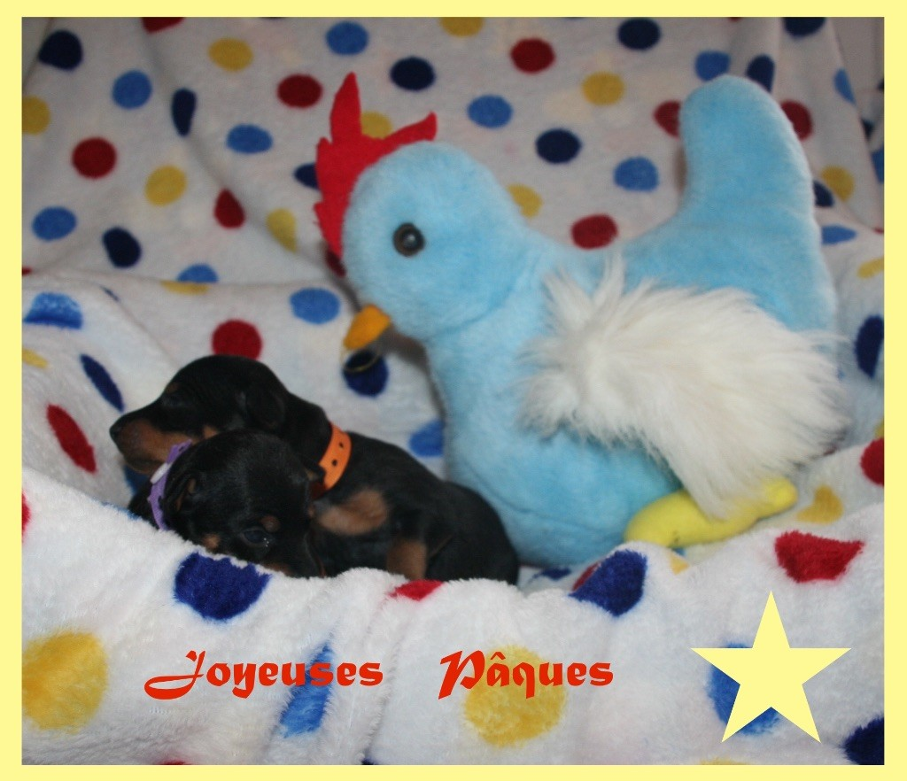 Of tall and small - English Toy Terrier - Portée née le 14/03/2018