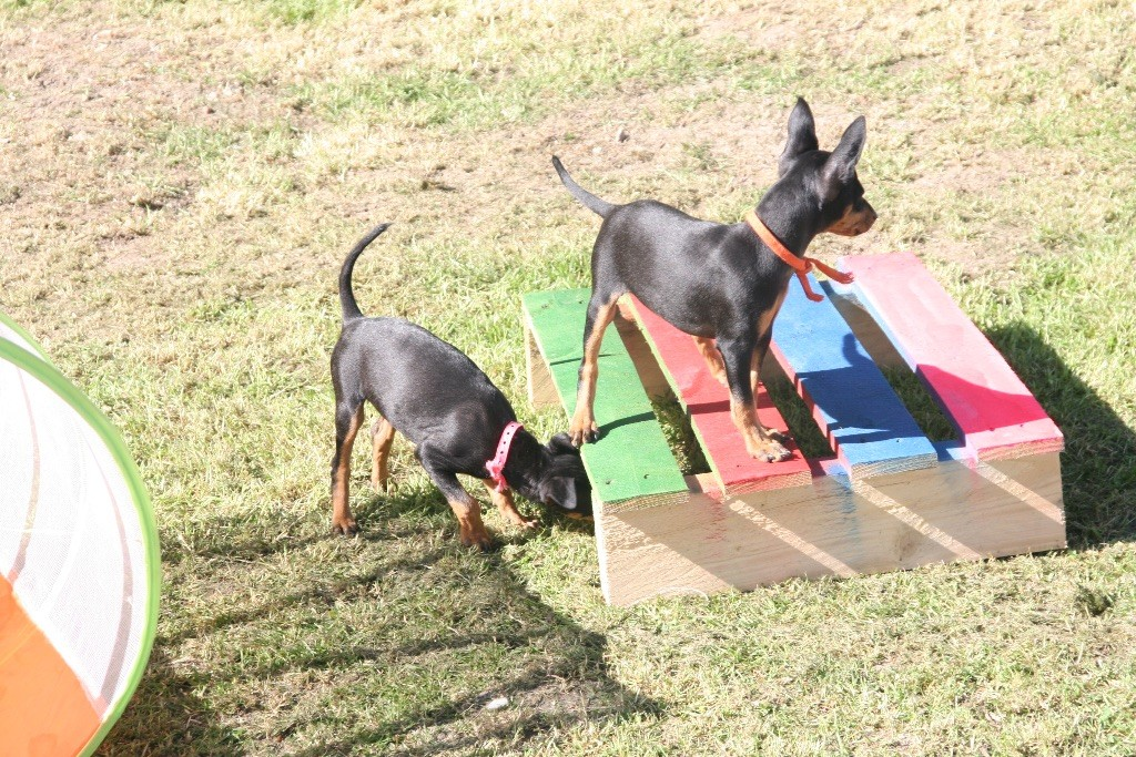 Of tall and small - English Toy Terrier - Portée née le 19/02/2017