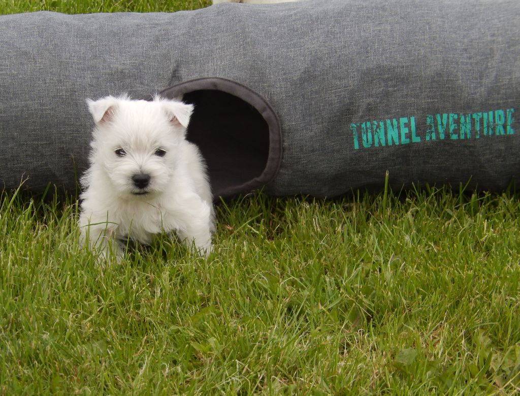 chiot west highland white terrier m le disponible en bourgogne franche comte 71 saone et. Black Bedroom Furniture Sets. Home Design Ideas