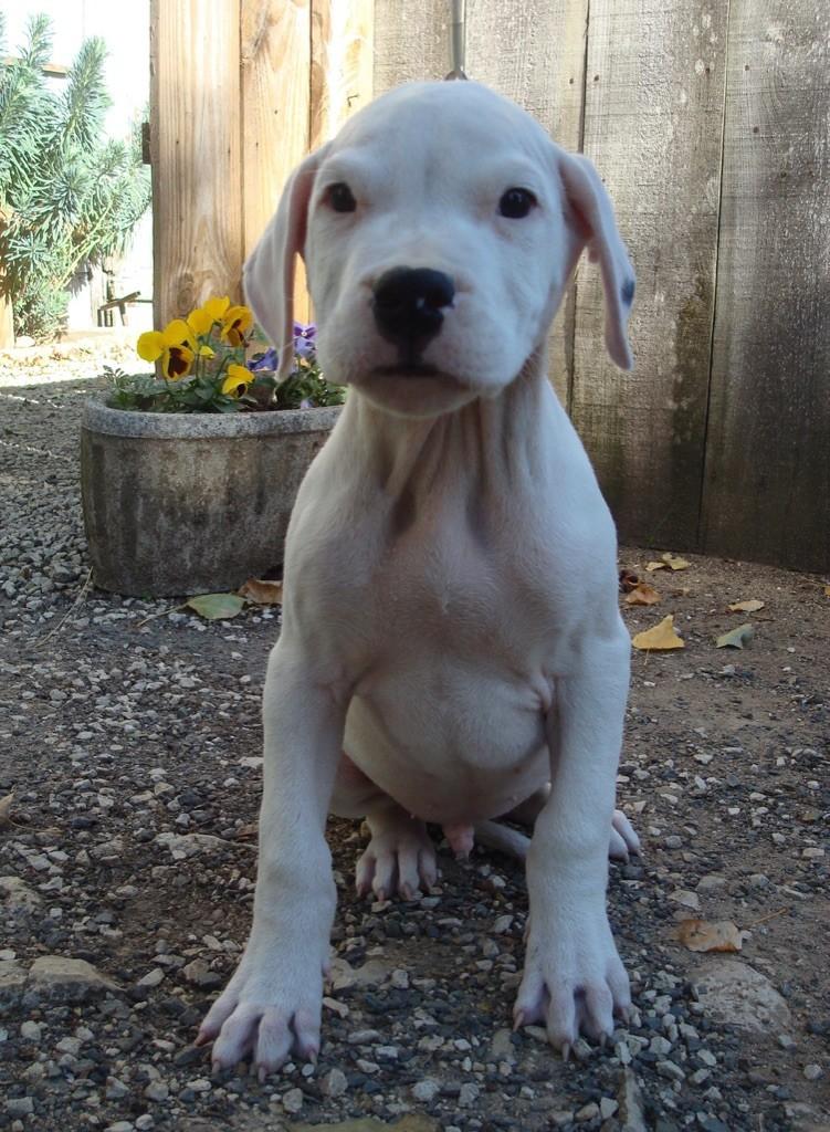 Del Sol y de las Estrellas - Chiot disponible  - Dogo Argentino