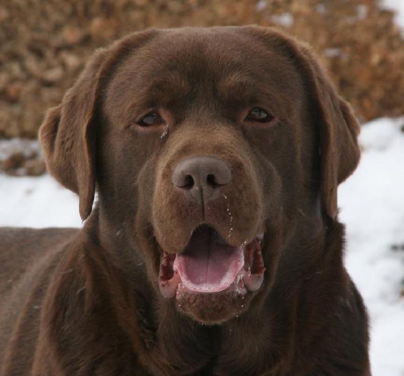 Labrador Retriever Chocolat